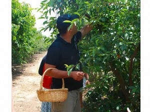 Blueberry picking in Moshav She'al
