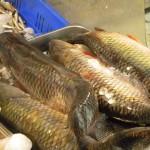 fish-fresh-in-shuk-1